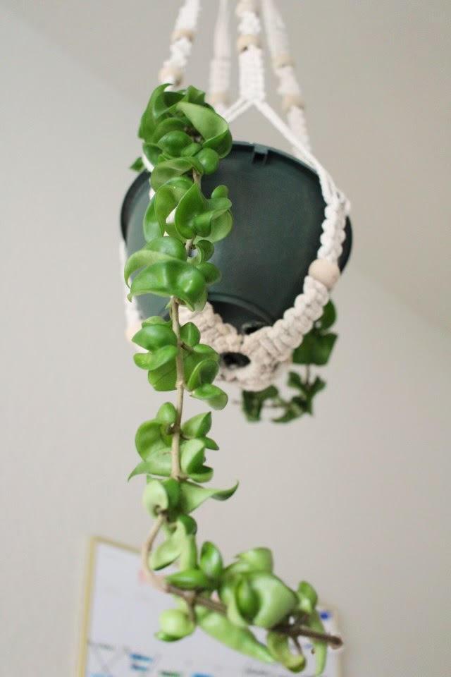 hanging vine plant