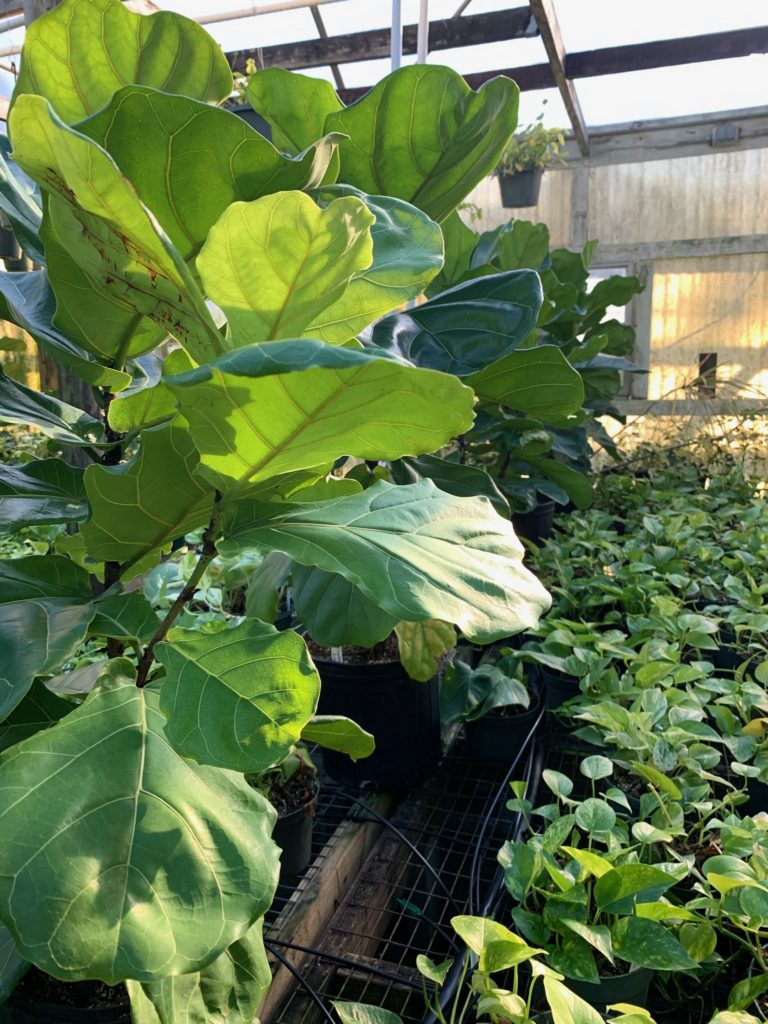 fiddle leaf fig, jimbo's nursery, indoor houseplant, shade plants