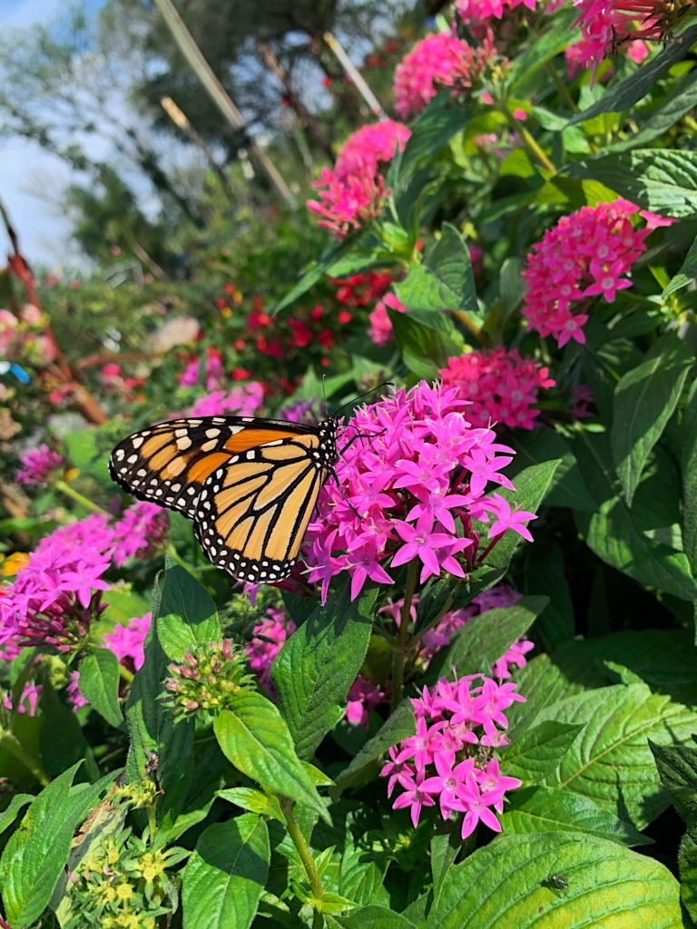 perennials, jimbo's nursery, flowers, monarch butterflies