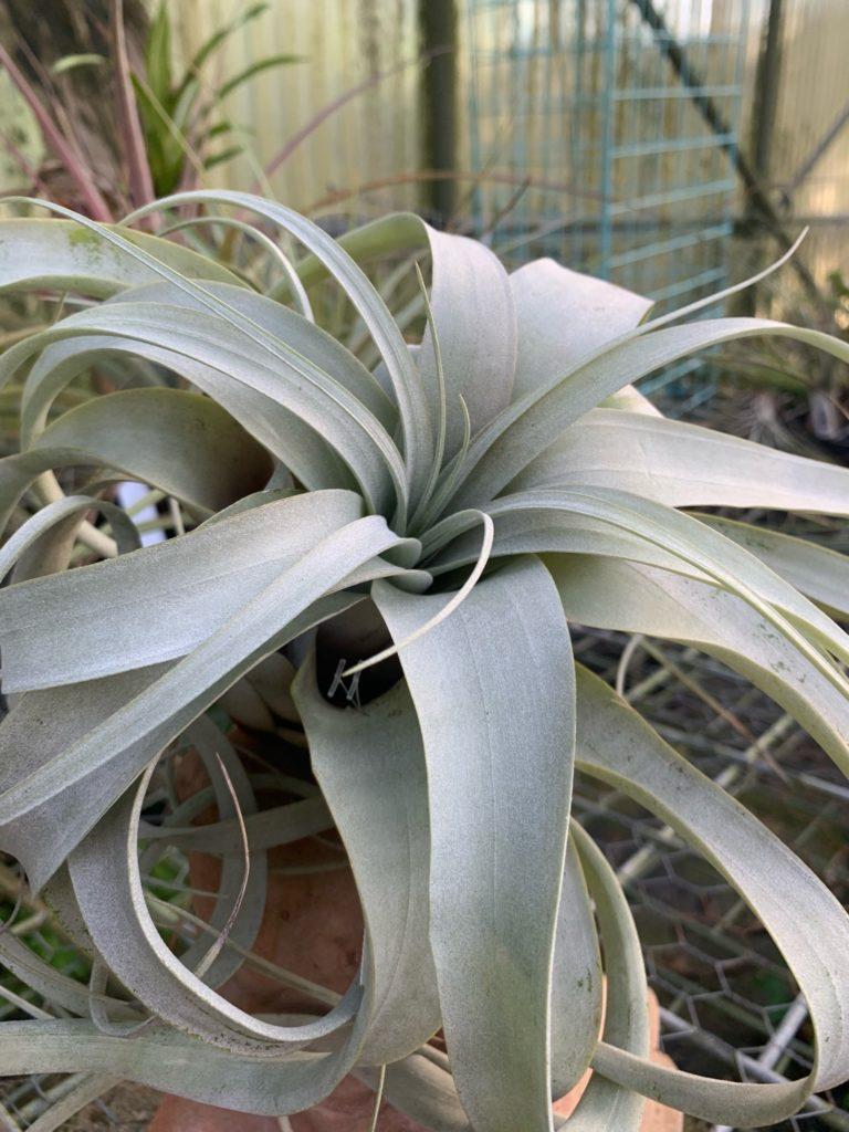 tillandsia, air plant, jimbo's nursery, plant nursery